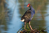 Australasian Swamphen, also called the Purple Swamphen or the Purple Gallinule (Porphyrio melanotus), surveying its wetland realm at Chirnside Park in Melbourne, January 2017. [Porphyrio melanotus 034 Melbourne-Australia 2017-01]
