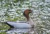 Australian Wood Duck, Maned Duck, Maned Goose