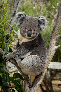 Koala, Bonorong Wildlife Sanctuary