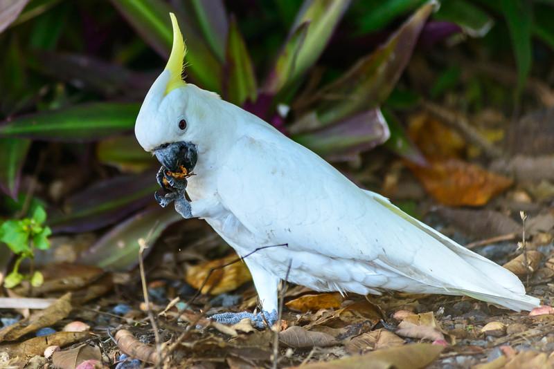 Parrot feeding on nuts. Fitzroy Island, Australia
