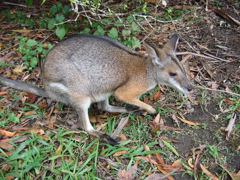 Wallaby - Australia