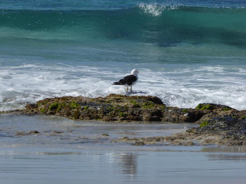 Gull at Friendly Beaches
