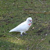 Long-Billed Corella at Lakeside Tourist Park, Halls Gap, Grampians
