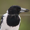 Pied butcher bird looking left