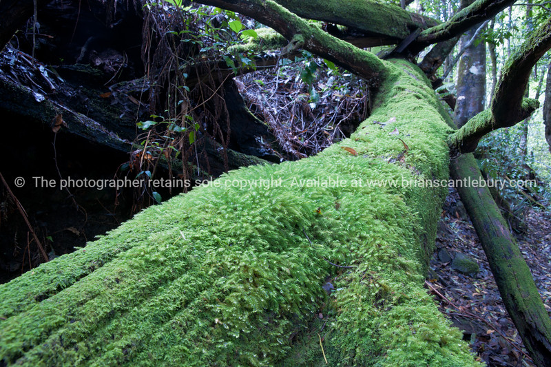 Moss covered fallen tree truck in Queensland rain forest.