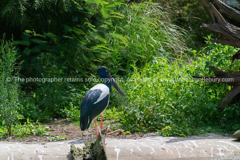 Black necked stork or jaribu large black and white wading bird.