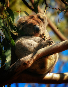 Koala Along Great Ocean Road, Australia