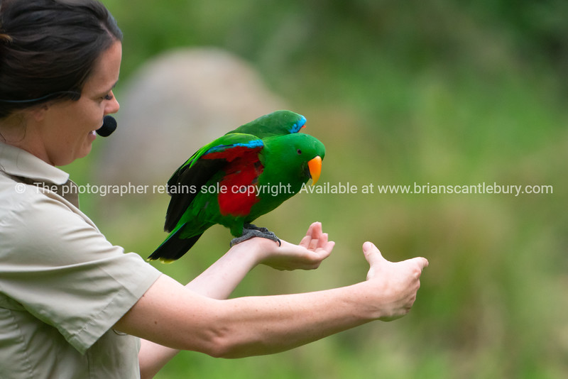 Eclectus parrot on arm of keeper at Healesville Sanctuary.