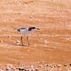 Shorebird