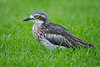 Bush Stone-Curlew, Bush Thick-knee
