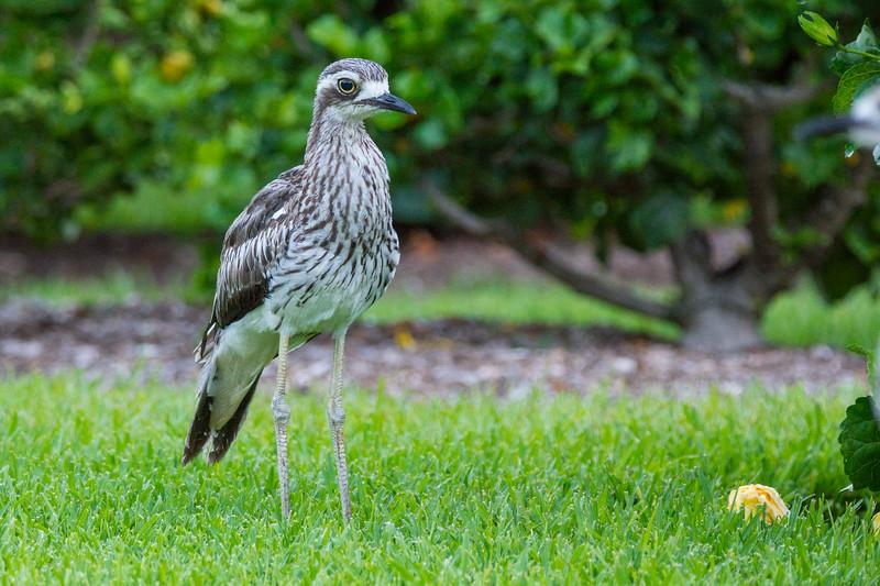 A Bush Stone-Curlew, or Bush Thick-knee (Burhinus grallarius) at the Brisbane City Botanic Gardens, January 2017. [Burhinus grallarius 008 Brisbane-Qld-Australia 2017-01]