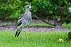 A Bush Stone-Curlew, or Bush Thick-knee (Burhinus grallarius) at the Brisbane City Botanic Gardens, January 2017. [Burhinus grallarius 008 Brisbane-Qld-Australia 2017-01]