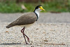 A Masked Lapwing, or Spur-winged Plover (Vanellus miles novaehollandiae) at Chirnside Park in Melbourne, January 2017. [Vanellus miles novaehollandiae 001 ChirnsidePark-Vic-Australia 2017-01]