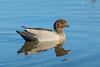 An Australian Wood Duck, also called the Maned Duck or Maned Goose (Chenonetta jubata) at Chirnside Park in Melbourne, January 2017.[Chenonetta jubata 010 Chirnside-Vic-Australia 2017-01]