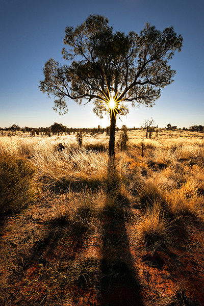 © Douglas Remington - Ethereal Light Photography, LLC. All Rights Reserved. Do not copy or download.<br /> <br /> Desert oak and sunstar. Sunrise at Uluru-Kata Tjuta national park, Australia.