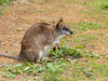 Parma Wallaby (Macropus parma) at Healesville Sanctuary - this mostly nocturnal tiny kangaroo was thought to have become extinct in the late 1800's, but was rediscovered in 1967.