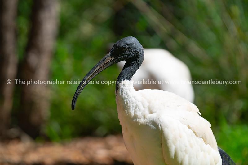 White ibis in Australia.