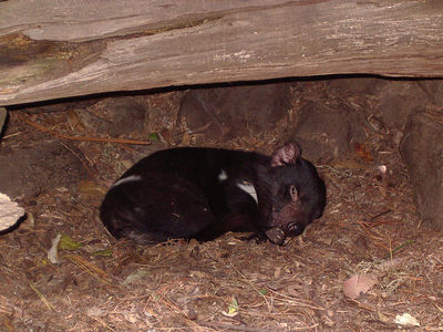 Tasmanian Devil having a nap.