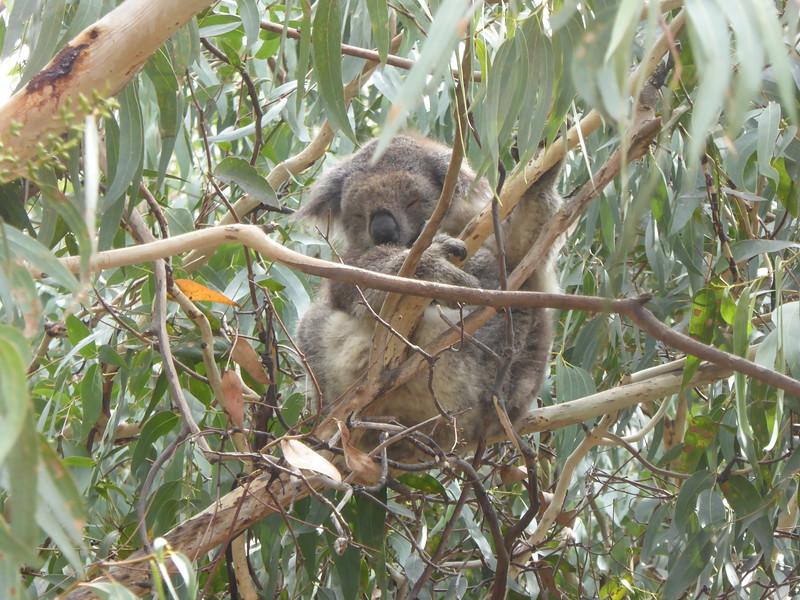 Koala at Kennett River, Great Ocean Road