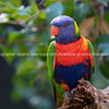 Rainbow lorikeet on branch
