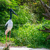 Black necked stork or jaribu large black and white wading bird.