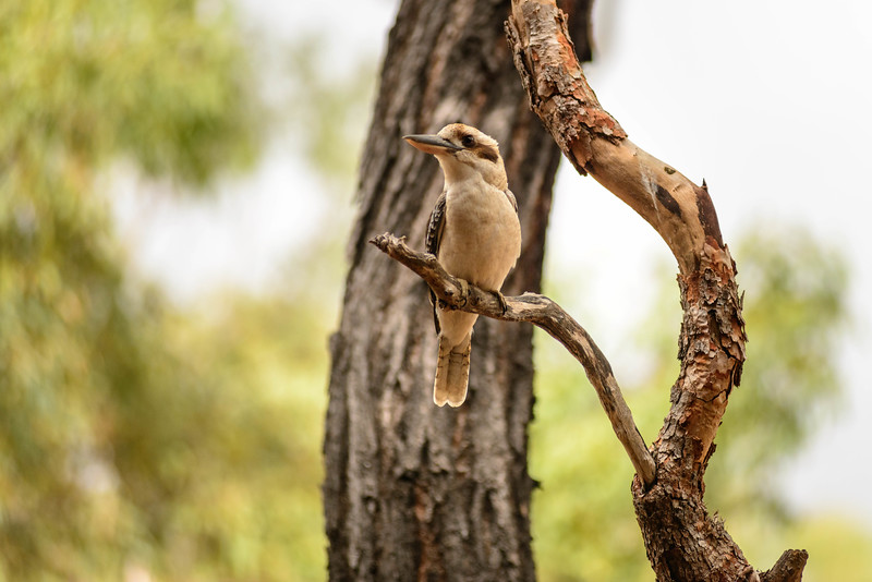 Bird. Undara, Australia