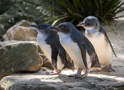Blue-Eyed Penguins, Featherdale Wildlife Park