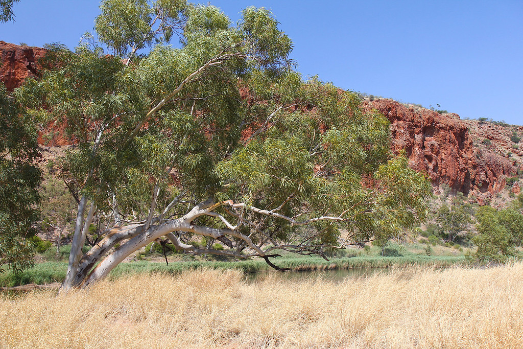 Oasis in the outback, near Alice Springs, Northern Territory, Australia<br /> Copyright 2011, Tom Farmer