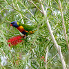 Parrots feeding on tree flowers. Undara, Australia