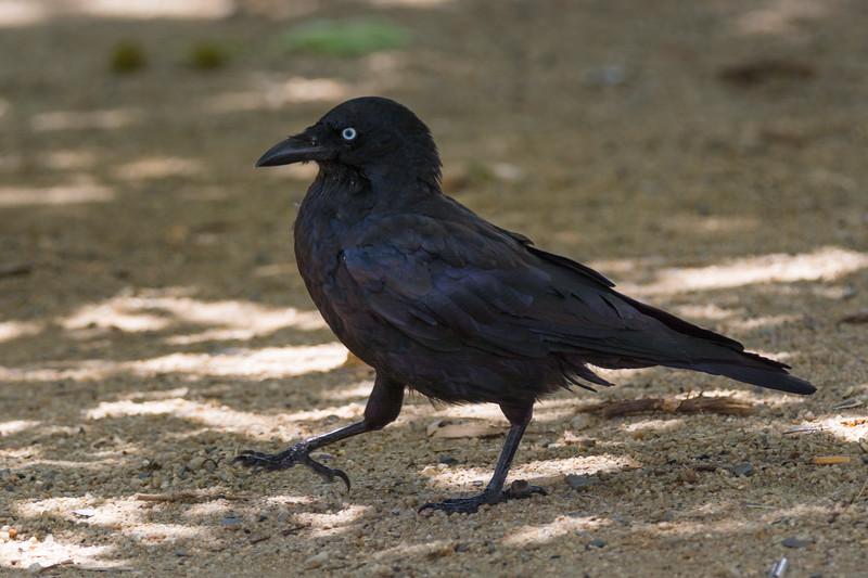 A Little Raven (Corvus mellori) near Melbourne, January 2017. [Corvus mellori 001 Rowville-Vic-Australia 2017-01]