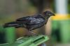 An Australian Raven (Corvus coronoides) at Chirnside Park in Melbourne, January 2017. [Corvus coronoides 002 Melbourne-Australia 2017-01]