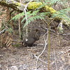 Pademelon on track at Narawntapu NP
