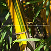 Green and gold, bamboo closeup.