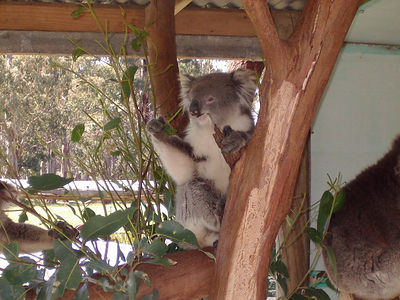A koala bear... they just sleep and eat all day.