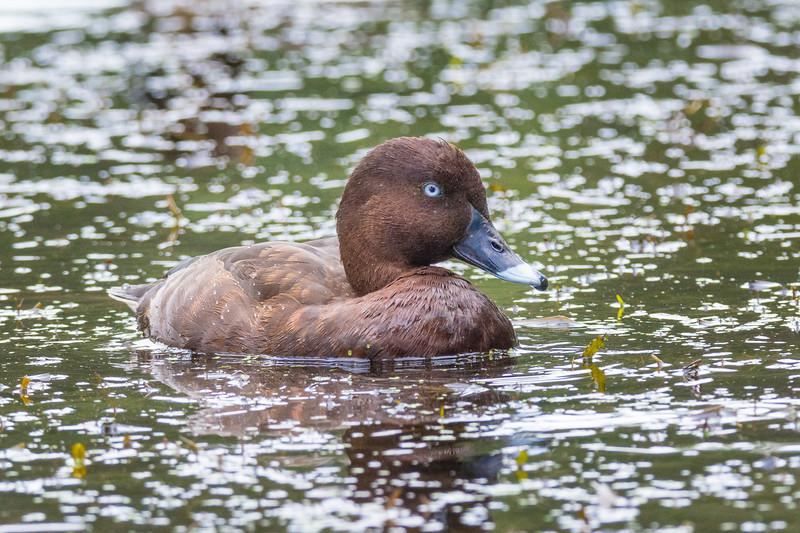 Hardhead, White-eyed Duck