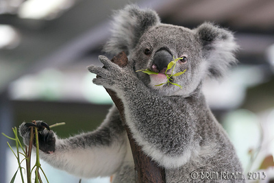 Koala posing with eucalyptus at the Koala Sanctuary near Brisbane.
