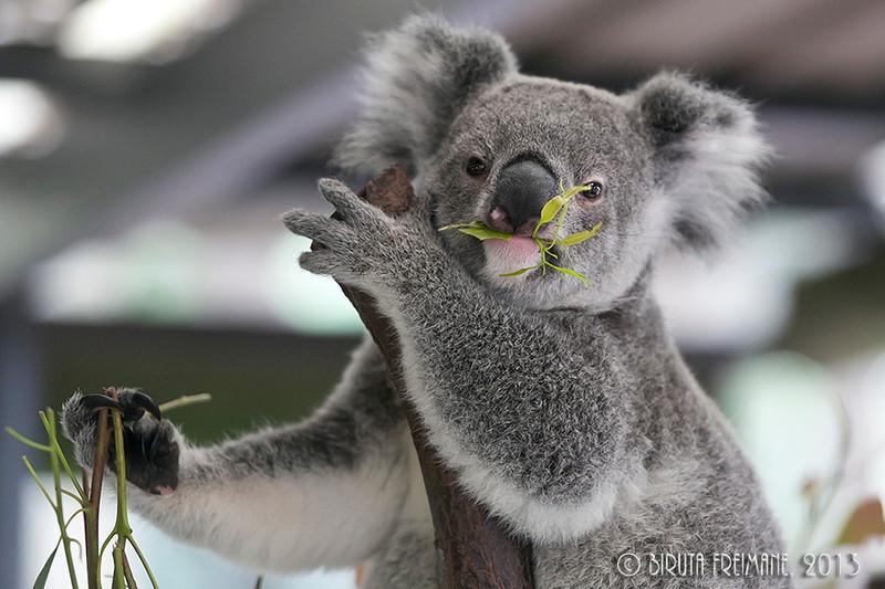Koala posing with eucalyptus at the Koala Sanctuary near Brisbane.