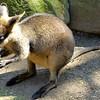 Featherdale Wildlife Park - baby kangaroo