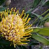 Botanic Garden - Yellow Leucospermum Cunieforme