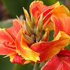 Botanic Garden - Bengal Tiger Flower