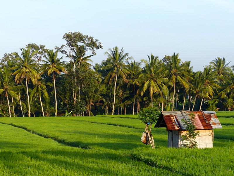 Early morning rice fields walk