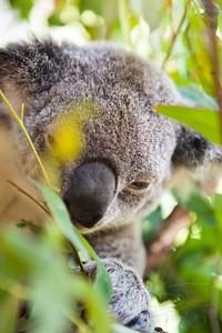 Koala at the Australian Zoo, Queensland.