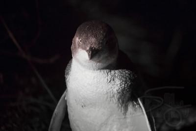 Little (or Fairy) Penguin. Burnie, Tasmania.