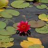 Lily pads in Schloss Schonbrunn garden pools