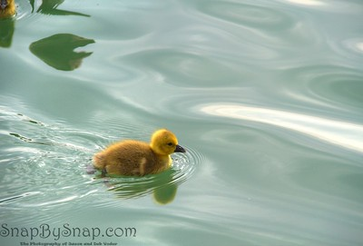 Baby Duck on Water