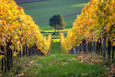 Vineyard, Burgenland, Austria, 2014