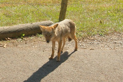Camera-shy Fox by the road in Cades Cove.