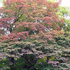 Giant Japanese maples in the Momiji Koen (Maple Garden) of Yamagata City; October 2007<br /> <br /> The three oldest (and largest) maples in the garden are more than 300 years old.