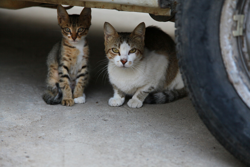 Local goverment of Cunda Island doesn't do anything to prevent stray cats from breeding. Too many cats.
