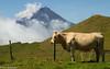 Plico Alto con 2,352 m es la montaña más alta de Portugal .  En sus alrededores las vacas pastan libremente alimentándose de gramíneas, dáctilo, trébol, menta silvestre y helechos, ese tipo de alimentación repercute en el sabor de la leche y en consecuencia en su queso, con denominación de origen ( o queixo do Pico)